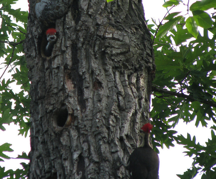 Pileated Woodpeckers - Hey, Come Back, Mom