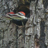 Hungry Pileated Woodpecker's Nest At Next Door Neighbor's - Dotty Hopkins