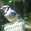 Blue Jay on Suet
