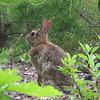 Tough Guy Cottontail Rabbit