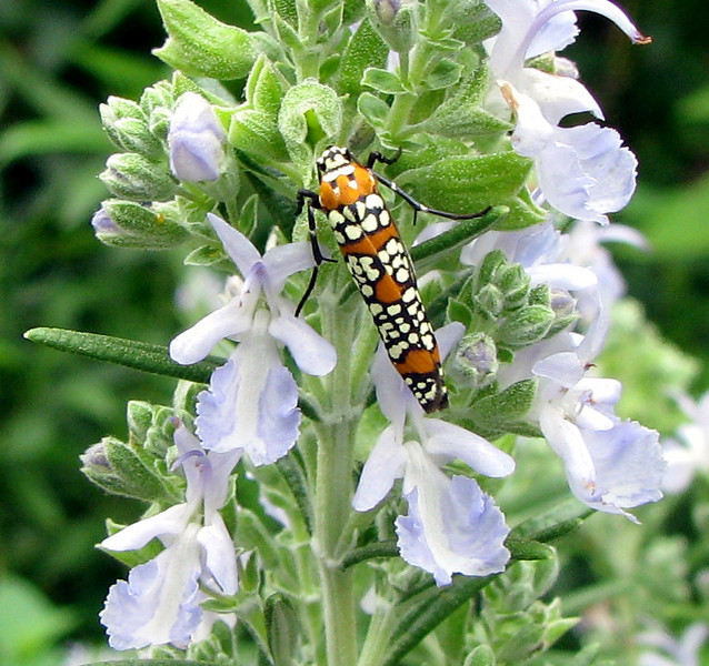 Ailanthus Moth on Rosemary Bloom
