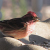 Male Purple Finch_4