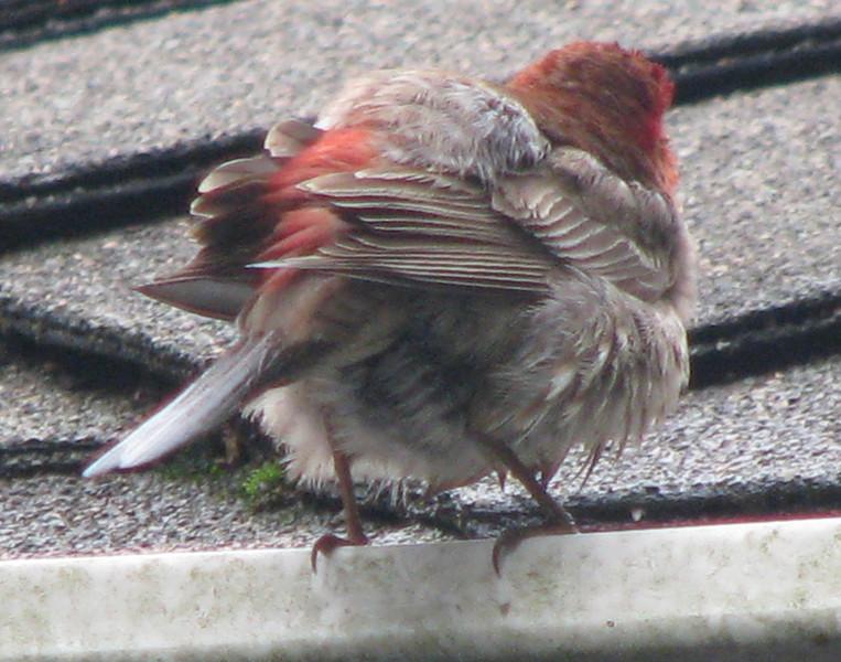 Male House Finch - Rear View