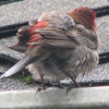 Male House Finch - Rear View