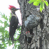 Pileated Woodpeckers - Dad Arrives To Feed - Look At That Landing Position and Wild Hairdo