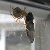 Spider With Egg Sac Wrapping Up A Bug - Will She Save It For The Babies