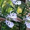 Rosemary In Bloom