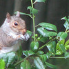 Squirrel Eating Green Holly Berries