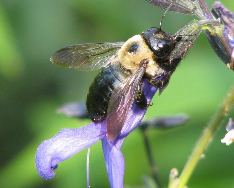 Bee On Blue-Black Salvia