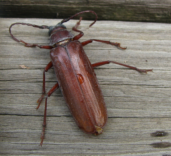Giant Root Borer Beetle - Drinking Water On Deck After Being Rescued From Bathroom