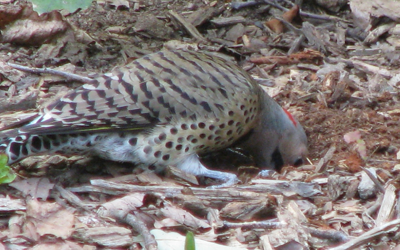 Male Northern Flicker Digging For Bugs