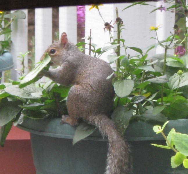 Squirrel Eating Leaf of Black-eyed Susan_2