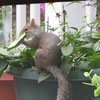 Squirrel Eating Leaf of Black-eyed Susan_2