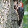 Red-bellied Woodpecker Drilling For Nest Or Bugs_3