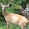 Female Deer In Backyard_2