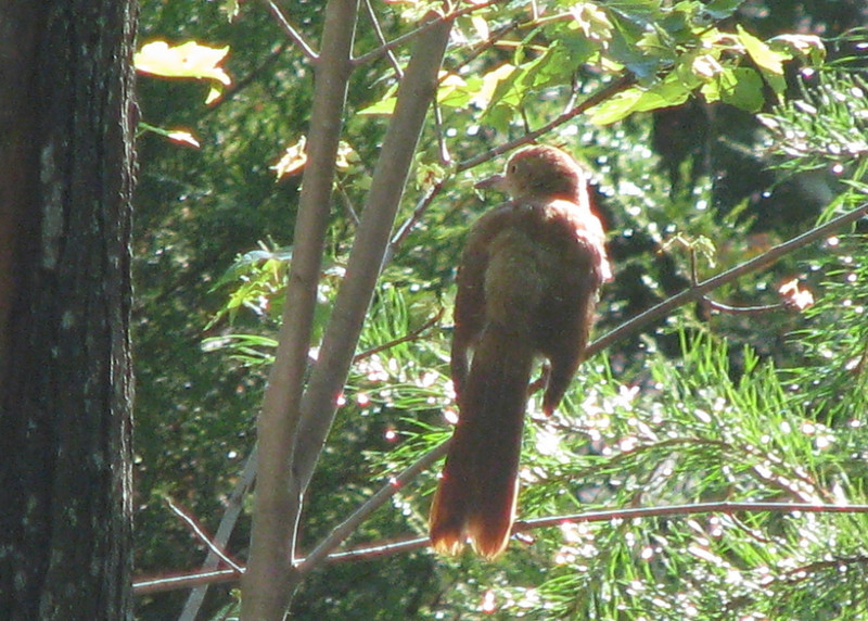 Back View Of Juvenile Brown Thrasher