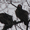 Front Yard Turkey Vultures