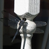Swift Long-winged Skimmer - Dragonfly