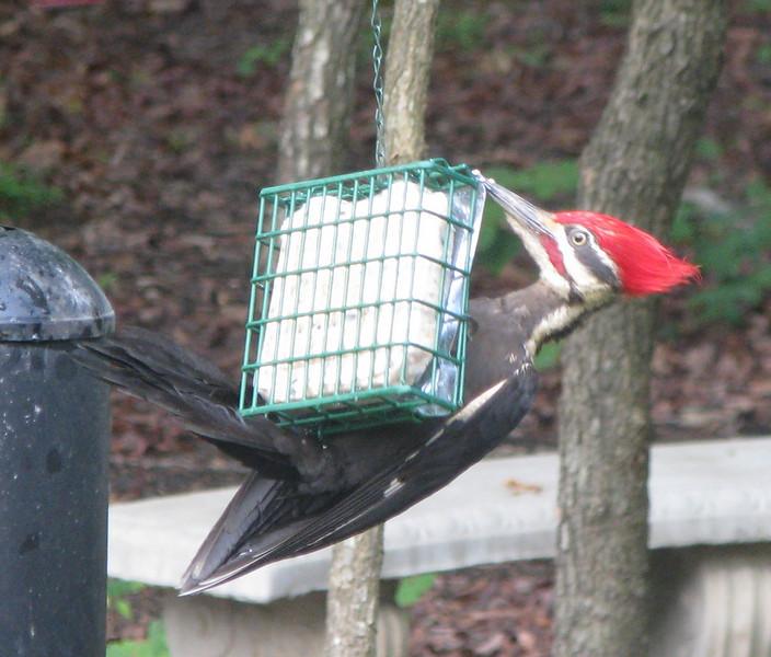 Pileated Woodpecker on Suet