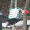 Pileated Woodpecker on Suet