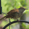 Brown Thrasher Above Suet Feeder