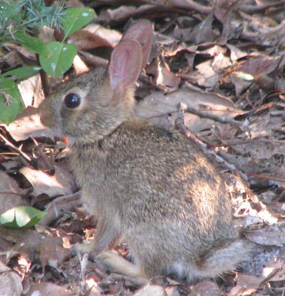 Baby Rabbit in Front Yard_2