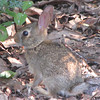 Baby Rabbit in Front Yard_2