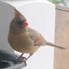Female Cardinal At Heated Water Bath