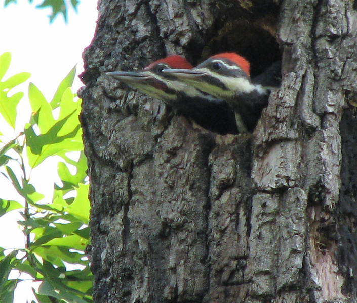 Pileated Woodpecker Nestlings