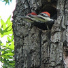 Pileated Woodpecker Nestlings