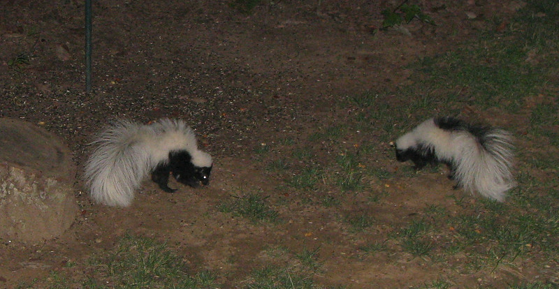 Two Skunks In Backyard