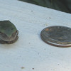 Tiny Little Frog As Small As A Dime - My Guess Is Baby Eastern Gray Treefrog_2