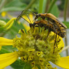 Green-headed Coneflower With Mating Soldier Beetles