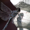 Closeup Swift Long-winged Skimmer - Dragonfly