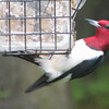 Red-headed Woodpecker_2