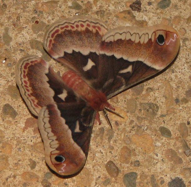 Silkworm Moth on Pavement