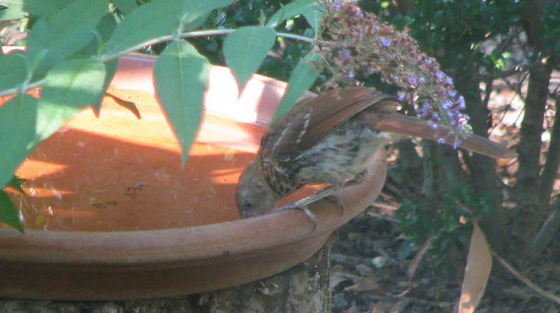 Brown Thrasher, Juvenile Identified By Color Of Eye