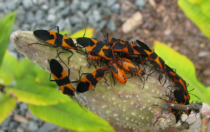 Milkweed Bugs on Milkweed Seed Pod Showing Different Stages of Growth