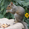 Squirrel Eating Critter Food