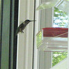Female Ruby-throated Hummingbird At Our Feeder