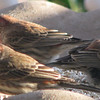 Male House Finch_4