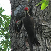 Pileated Woodpeckers - Mom Finished Feeding