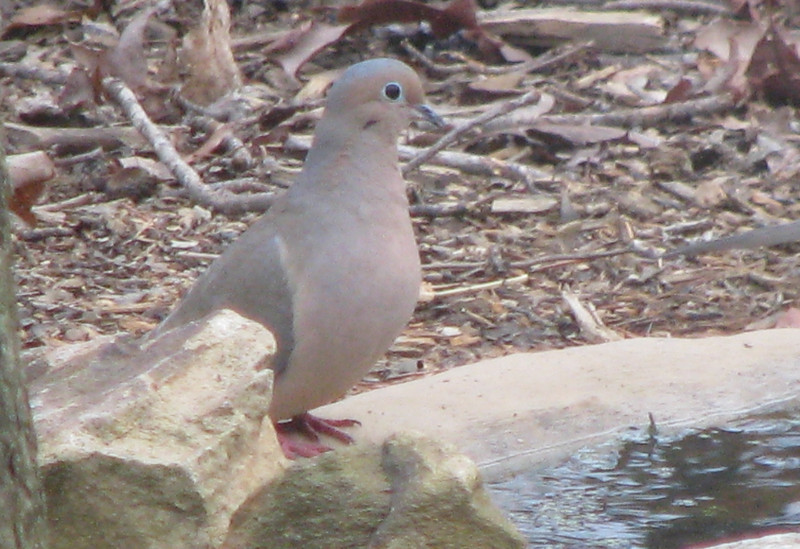 Mourning Dove at Pond
