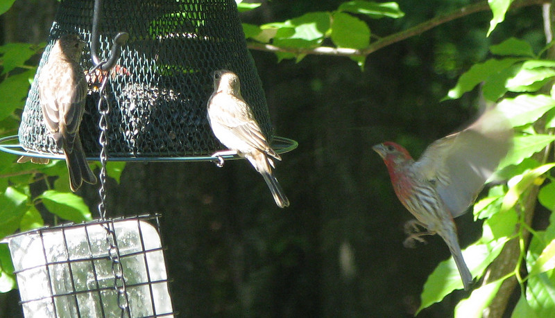 Male House Finch Flying To Feeder