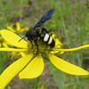 Green-headed Coneflower With Double-banded Scoliid Wasp (Scolia bicinta)- Identified by Insect Forum