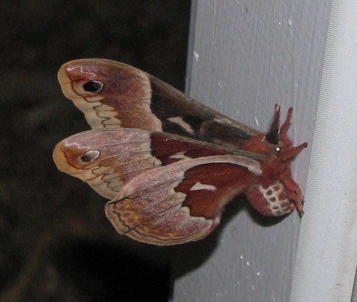 Silkworm Moth On Garage Pedestrian Door