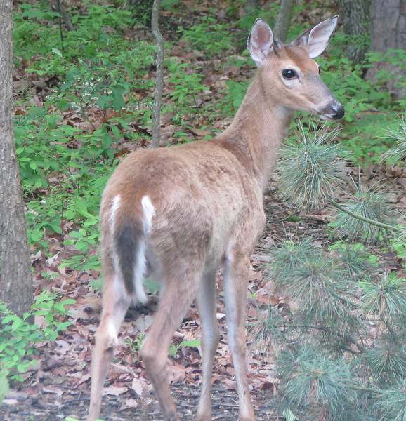 Young Male White-tailed Deer