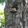Pileated Woodpecker's Nest At Neighbor, Dotty Hopkins