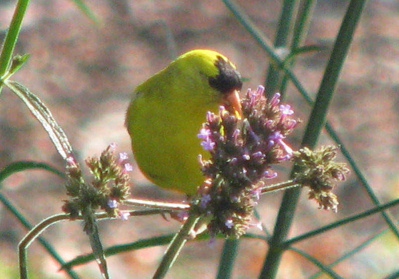 American Goldfinch Eating Seeds From Upright Verbena