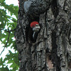 Pileated Woodpecker Waiting For Parents To Return With Food